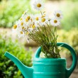 Daisy flower in garden watering can — Stock Photo