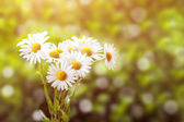 Daisy flower with shallow focus — Stock Photo
