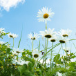 Daisy flower field against blue sky — Stock Photo #31629211