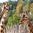 Giraffes — Stock Photo #32412231