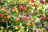 Bunch of red apples on a apple tree — Stock Photo