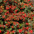Stock Photo: Autumn background with red gaultheria