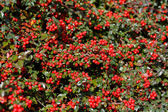 Autumn background with red gaultheria — Stock Photo