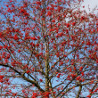 Stock Photo: Tree of RowBerries (Sorbus aucuparia)