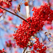 Stock Photo: Detail of RowBerries (Sorbus aucuparia)