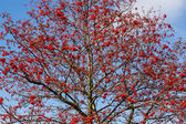 Tree of Rowan Berries (Sorbus aucuparia) — Stock Photo