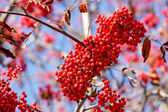 Detail of Rowan Berries (Sorbus aucuparia) — Stock Photo