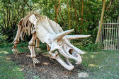 Triceratops Fossil skeleton over natural background — Stock Photo