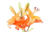Detail of flowering orange lily — Stock Photo