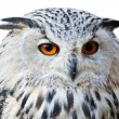Isolated eagle owl with his big and beautiful oranges eyes — Stock Photo