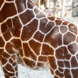 Giraffe Skin Texture — Stock Photo #37380413