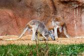 Two Kangaroos — Stock Photo