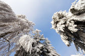 Sunny frozen trees over blue sky — Stock Photo