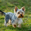 Cute small yorkshire terrier — Stock Photo #43725131