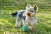 Cute small yorkshire terrier — Stockfoto