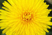 Yellow dandelion on a green background — Stock Photo