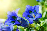 Trumpet gentiana blue spring flower in garden — Stock Photo