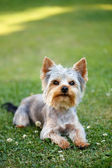 Cute small yorkshire terrier — Foto Stock
