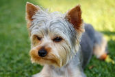 Cute small yorkshire terrier — Стоковое фото