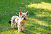 Cute small yorkshire terrier — Foto de Stock