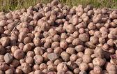 Potatoes on the field — Stock Photo