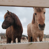 Muzzles of the horses — Stock Photo