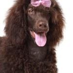 Brown royal poodle — Stock Photo #22225069