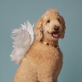 Cute angel poodle — Stock Photo