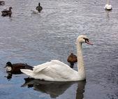 Swan and ducks — Stock Photo