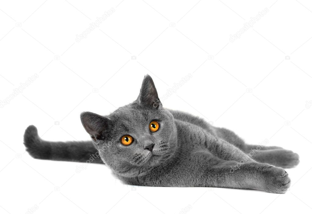 упитанный кот лапки  № 2866538 бесплатно