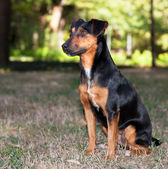 Terrier dog — Stock Photo