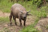 Young buffalo — Stock Photo