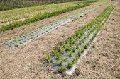 Organic vegetable farm — Stock Photo