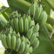 Stock Photo: Banantree
