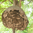 Big Wasp nest — Stock Photo