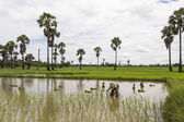 Stand alone asian farmer standing plant rice in the field — Stock Photo