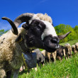 Head of a ram against a pasture — Stock Photo