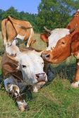 Krávy na letní pastviny. — Stock fotografie