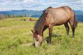Cavalo em um pasto de montanha de verão — Foto Stock