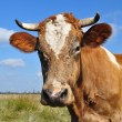 Head of a cow against a pasture. — Stockfoto
