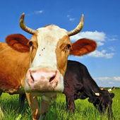 Bir yaz mera üzerinde ineklerin — Stok fotoğraf
