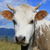 Head of the calf against mountains — Stock Photo