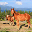 Horses on summer mountain pasture — Stock Photo #12108950
