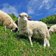Stock Photo: Sheep in a summer landscape
