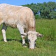 Calf on summer pasture — Stock Photo #12157303