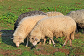 Sheep in a summer landscape — Stock Photo