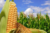 Ear of corn against a field under clouds — Foto Stock