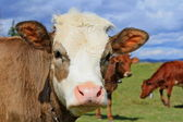 Head of the calf against a pasture — Stock Photo