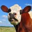 Stock Photo: Head of cow against pasture