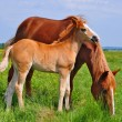 Stock Photo: Foal with a mare on a summer pasture.
